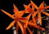 Dendrobium dickasonii