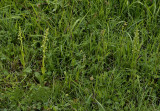 Groene nachtorchis, habitat, Dactylorhiza viridis