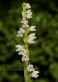 Dennenorchis, Goodyera repens