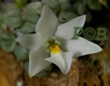 Constantia cipoensis, flower 1 cm across