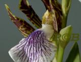 Zygopetalum crinitum