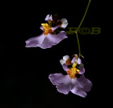 Oncidium sp.  flowers 3 cm