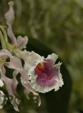 Trichopilia coccinea