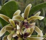 Dendrobium munificum, New Caledonia