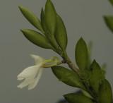 Angraecum gabonense