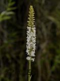 Peristylus goodyeroides