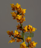Oncidium pumilum