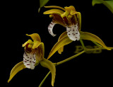 Gallery cymbidium