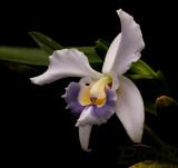 Cattleya pumila 'coerulea'  different clone