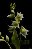 Dendrobium compactum,  Ueang Khao Tok, flowers 1-1½ cm