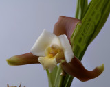 Lycaste measuresiana