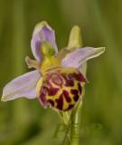 Gallery  Ophrys apifera