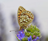 Duinparelmoer vrouwtje, Argynnis niobe