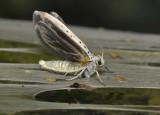 Wilgenstippelmot, Yponomeuta rorrella