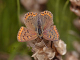 Bruine vuurvlinder, vrouw