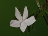 Glomera compressa , flower 2½  cm
