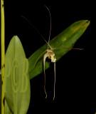 Diplocaulobium mekynosepalum,  port moresby PNG