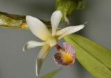 Dendrobium spurium, Malaysia flower 3 cm