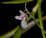 Dendrobium pseudocalceolum