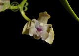 Dendrobium amphygenianum, west. highlands prov. Papua new Guinea, flower 13 mm