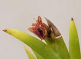 Dendrobium  sp. flower 7 mm across