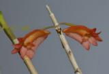 Dendrobium faciferum, flowers 1½  cm