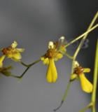 Oncidium hookeri, 1 cm