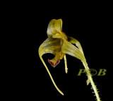 Porroglossum sp. 1½  cm