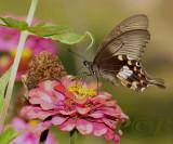 Papilio polytes romulus, female