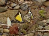 Butterflies, Appias lyncida and Cepora nerissa