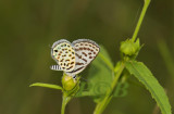 Taracus callinara
