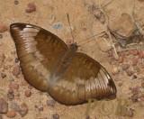 Euthalia monina kesava, female