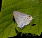 Hypolycaena erylus