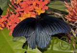Great mormon, Papilio memnon