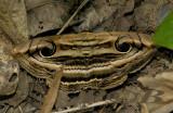Rustic eye moth, Spirama helicina