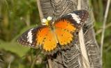 Orange lacewing, Cethosia metypsea