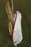 Aloa lactinea (Arctiinae)
