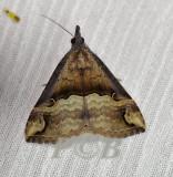 Hypena cidarioides (Hypeninae)