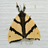 Numenes siletti  (Lymantriinae)