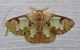 Cariola ecnomoda (Lymantriinae)