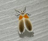 Ovipennis binghami (Arctiinae)