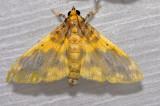 Pachynoa thoosalis (Crambidae)