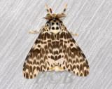 Moth 24