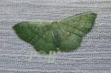 Moth 29