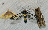 Cerix sp. (Arctiinae)