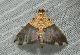 Agrotera basinotata (Crambidae)