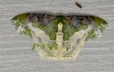Eucyclodes semialba (Geometridae)