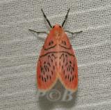 Miltochrista dentifascia (Arctiinae)