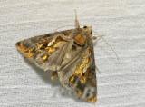 Moth 49