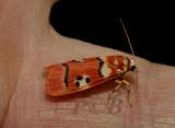Cyana coccinea (Arctiinae)
